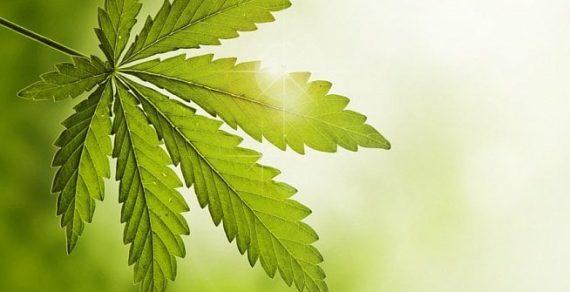 legalizace-konopi-k-lecbe-co-prineslo-lecebne-konopi-1-prev